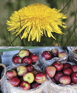 Image collage of a dandelion and a basket of apples.